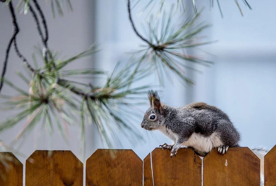 veverka na plotě